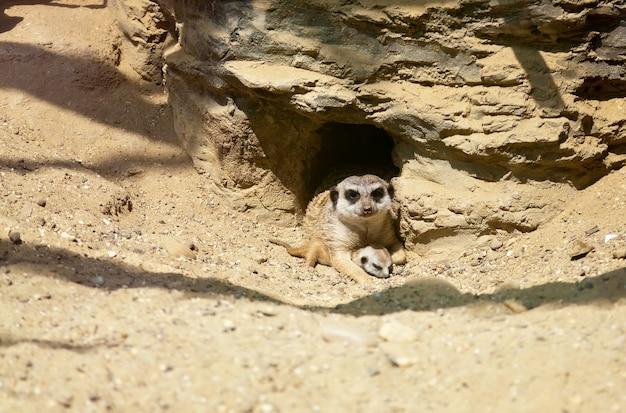 Nahaufnahme erdmännchen, das sein kleines jungtier schützt