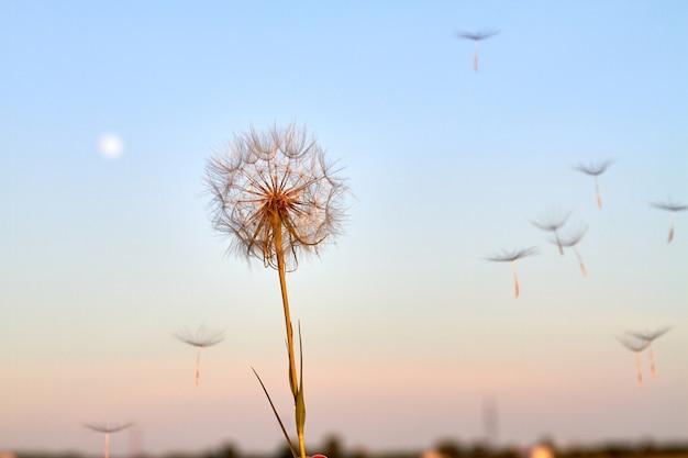 Nahaufnahme flauschige löwenzahnblume gegen abendhimmelhintergrund. dämmerungshimmel bei sonnenuntergang.