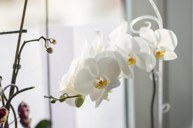 Nahaufnahme foto der weißen orchidee auf der fensterbank.