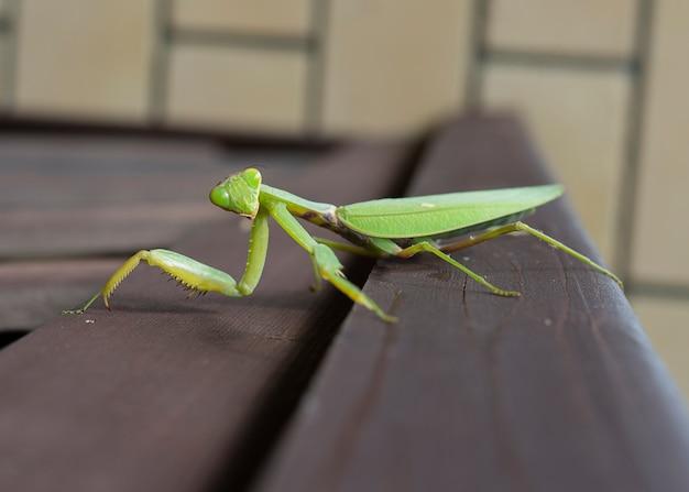 Nahaufnahme foto einer gottesanbeterin. mantis religiosa. makroaufnahme einer grünen gottesanbeterin