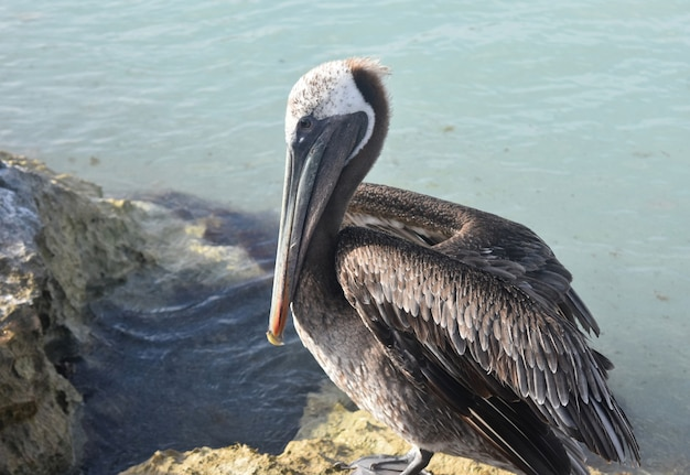 Nahaufnahme foto eines großen pelikan sitzend