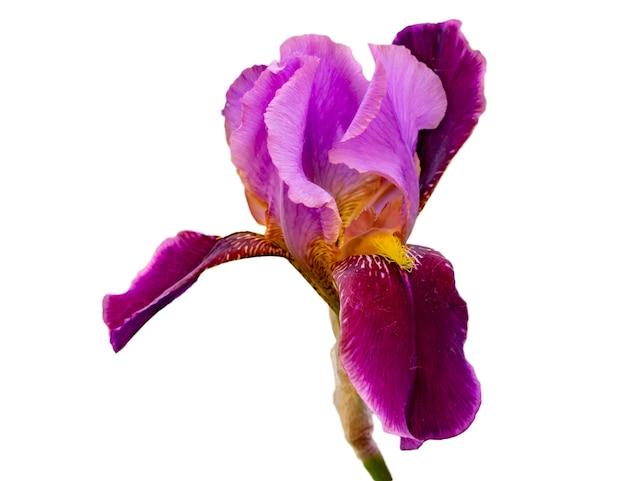 Nahaufnahme foto von leuchtend bunten irisblume im garten isoliert in