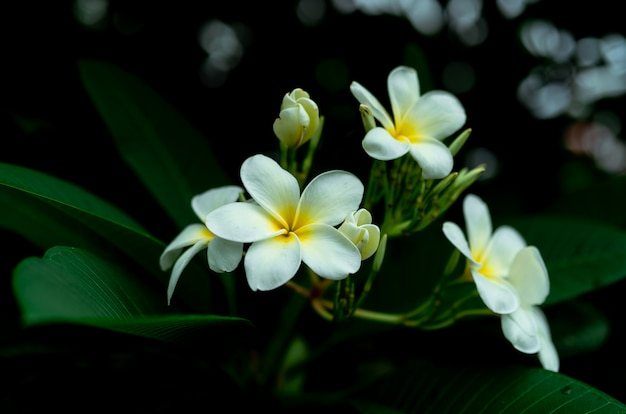 Nahaufnahme frangipani blumen mit grünen blättern auf unscharfem bokeh hintergrund. weiße plumeria-blumenblüte im garten. tropische pflanze.