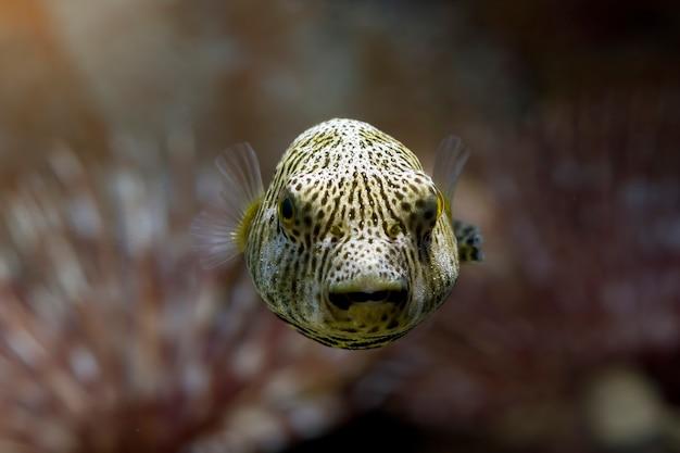 Nahaufnahme gesicht kugelfisch vorderansicht süßes gesicht kugelfisch