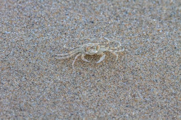 Nahaufnahme ghost crab