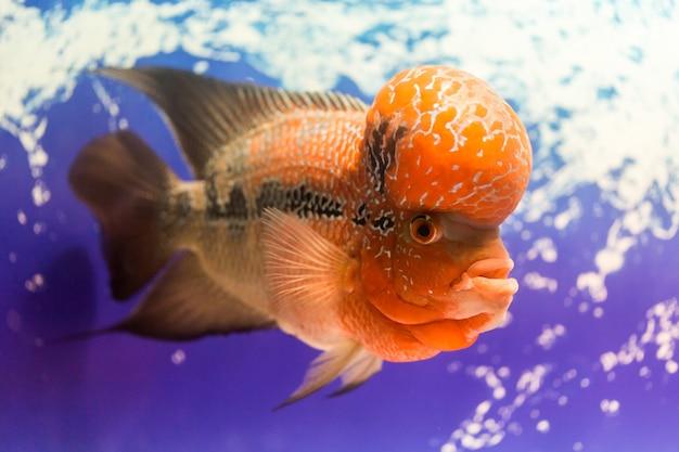 Nahaufnahme großer aquarienfisch das blumenhorn