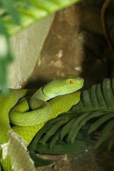 Nahaufnahme grüne grubenotterschlange ist im garten versteckt