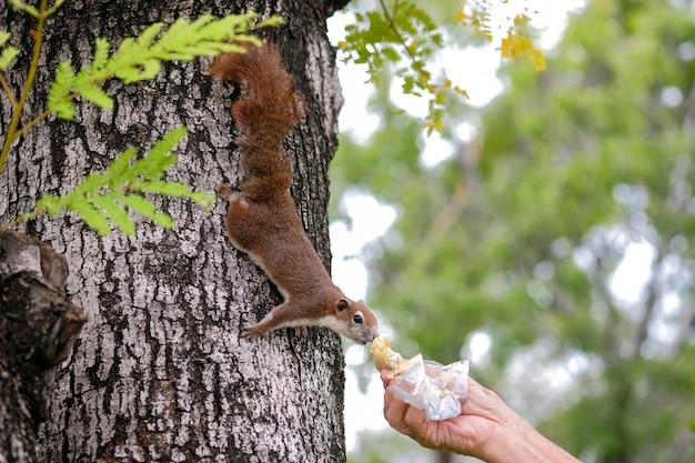 Nahaufnahme hände des alten mannes, der brot sendete, um ein eichhörnchen auf einem baum auf allgemeinem park zu geben
