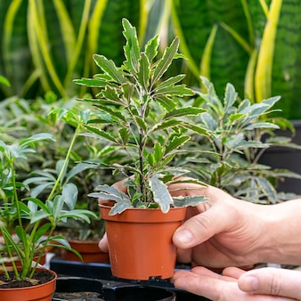 Nahaufnahme hand, die hauspflanze hält