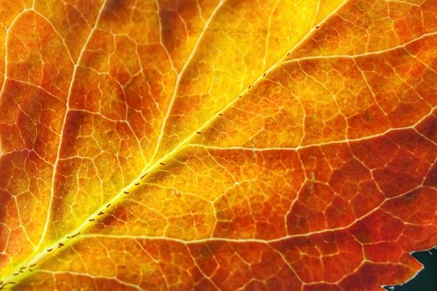 Nahaufnahme herbst fallen extreme makro textur ansicht von rot orange grün holzblatt baum blatt leuchten im sonnenhintergrund. inspirierende natur-oktober- oder september-tapete. wechsel der jahreszeiten-konzept.