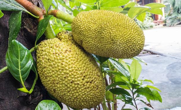 Nahaufnahme jackfruit am baum im garten des haupthintergrundes