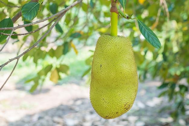 Nahaufnahme jackfruit am baum im obstgarten