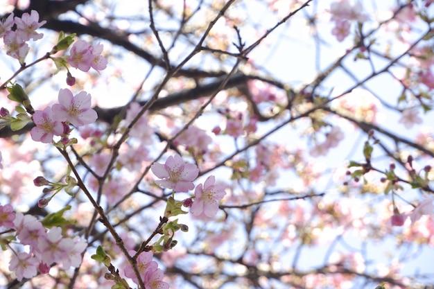 Nahaufnahme-japan-kirschblütenrosa-blume kirschblüte-niederlassungsnaturhintergrund.