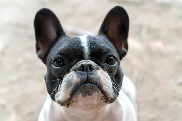 Nahaufnahme kleiner süßer schwarz-weißer französischer bulldogge-welpen