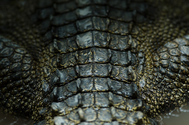 Nahaufnahme-krokodillederhintergrund des siamesischen krokodils