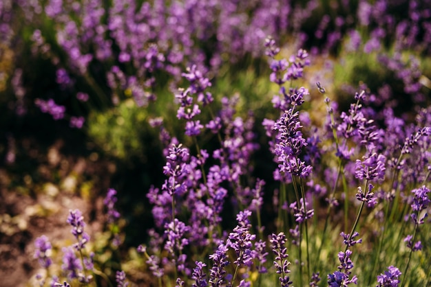Nahaufnahme lavendelblume wächst auf dem feld.