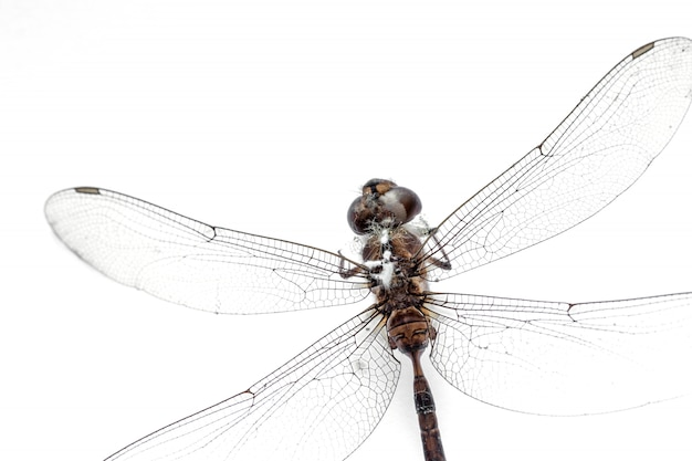 Nahaufnahme-libelle angefüllt lokalisiert auf weißem hintergrund, draufsicht