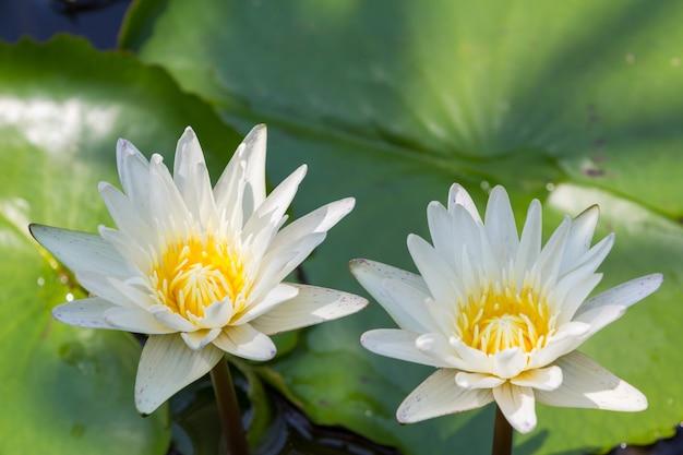 Nahaufnahme lotus-blume, seerose