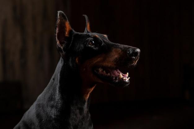 Nahaufnahme-lustiges porträt des dobermann-hundes