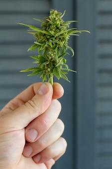 Nahaufnahme männliche hand hält stoß cannabispflanze. konzept farm marihuana plantage. dose cannabisknospen cbd.