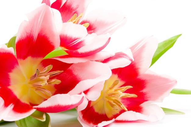 Nahaufnahme mit drei rosa tulpen auf einem weißen hintergrund