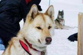 Nahaufnahme mit einem husky, schlittenhund