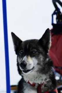 Nahaufnahme mit einem husky, schlittenhunde