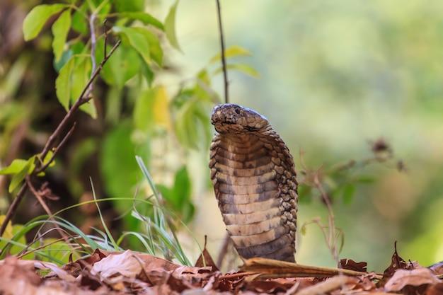 Nahaufnahme monocellate cobra