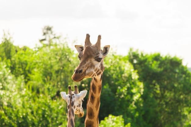 Nahaufnahme porträt der giraffe