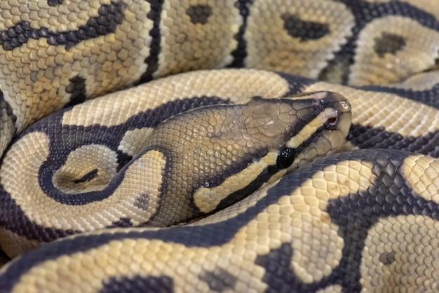 Nahaufnahme python ball schlange eine art haustier tier