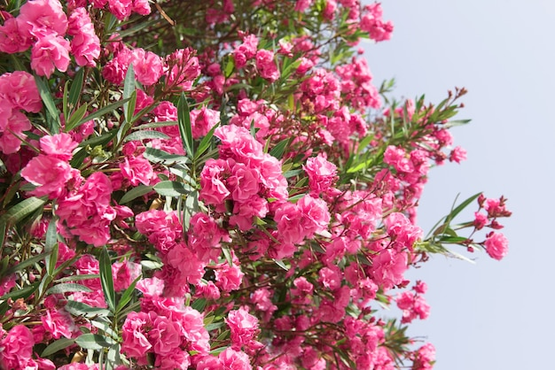 Nahaufnahme rosa oleanderblüten mit grünen blättern.
