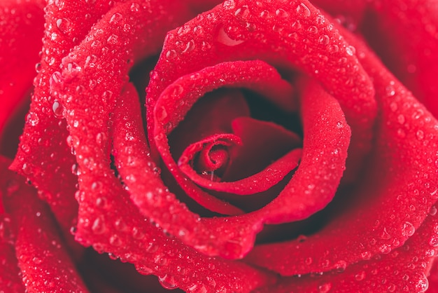 Nahaufnahme rote rose