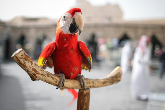 Nahaufnahme roter ara papagei, der auf hölzernem barsch sitzt.