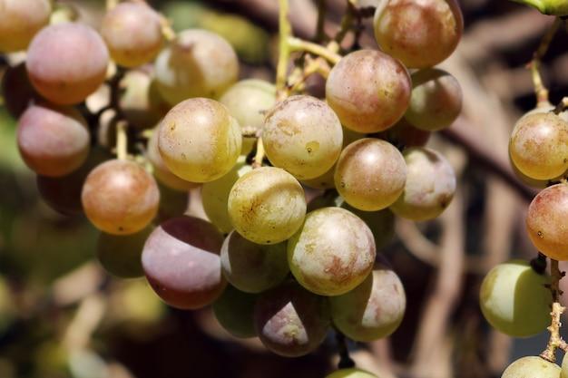 Nahaufnahme-schnappschuss des brunchs der frischen grünen trauben im garten