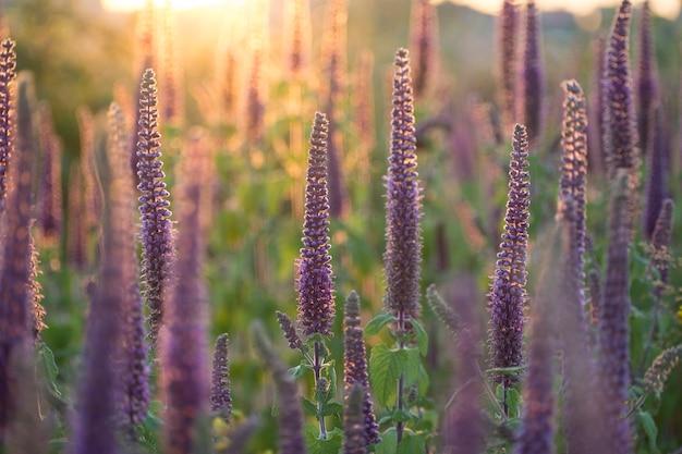 Nahaufnahme schoss von den vibrierenden purpurroten kräutern in vollem blühen im sonnenuntergang