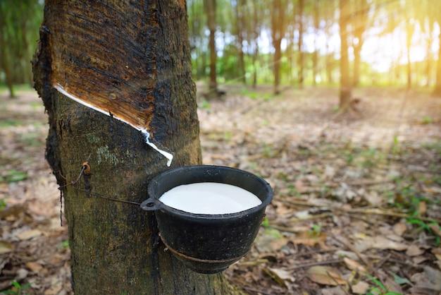 Nahaufnahme schüssel voll naturkautschuklatex vom gummibaum gefangen.