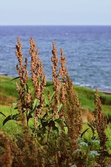 Nahaufnahme schuss der trockenen kulturpflanze mit samen und dem gras