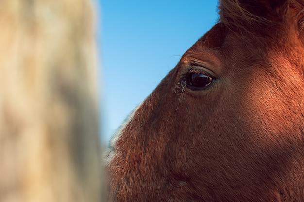 Nahaufnahme schuss des kopfes eines braunen pferdes