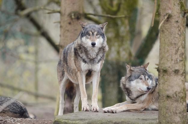 Nahaufnahme schuss des wolfes, der auf einem felsen steht