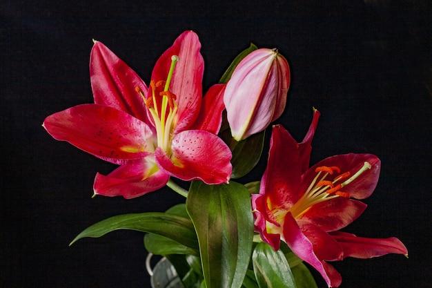 Nahaufnahme schuss von roten scharlachroten lilien mit schwarz