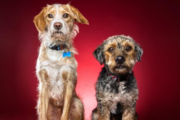 Nahaufnahme schuss von zwei niedlichen hund auf einem roten