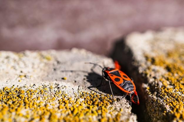 Nahaufnahme selektiver fokusschuss eines feuerkäfers auf der steinoberfläche