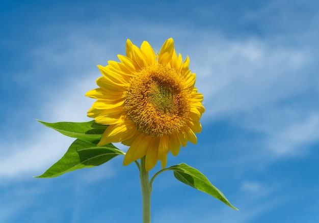 Nahaufnahme sonnenblume am blauen himmel