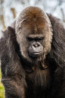 Nahaufnahme sot eines traurigen gorillas, der auf den boden schaut
