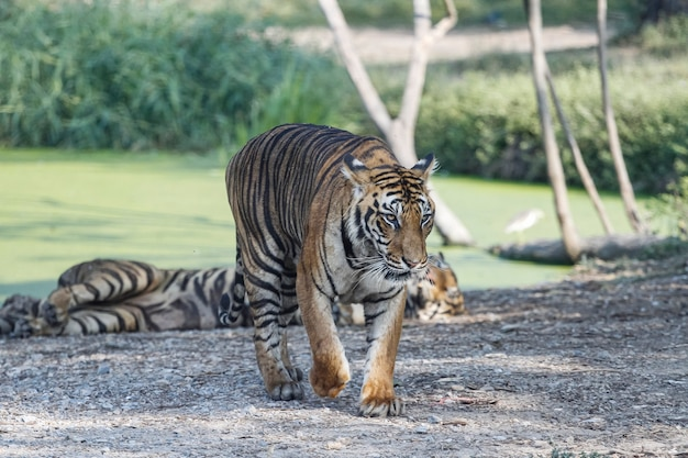 Nahaufnahme tiger ist große säugetier- und tierwelt im wald