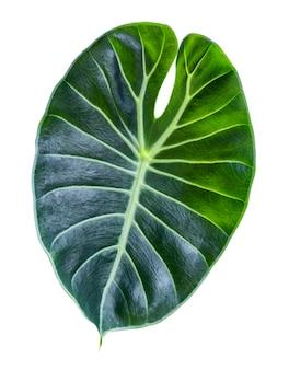 Nahaufnahme tropisches grünes blatt alocasia longiloba satun isoliert auf weißem hintergrund, beschneidungspfad.