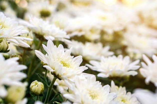 Nahaufnahme und ernte weiße blumen im garten im britischen park im sommer