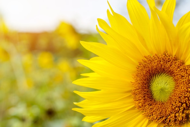 Nahaufnahme und große sonnenblume des clors auf undeutlichem hintergrund