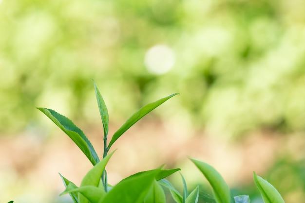 Nahaufnahme und selektiver fokus frische grüne teeblätter verwischen bokeh in der plantage