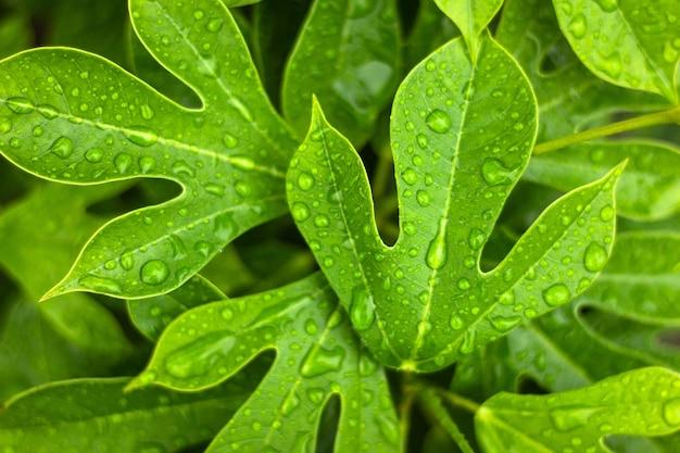 Nahaufnahme und vorgewähltes fokusgrünblatt mit wassertropfen für hintergrund